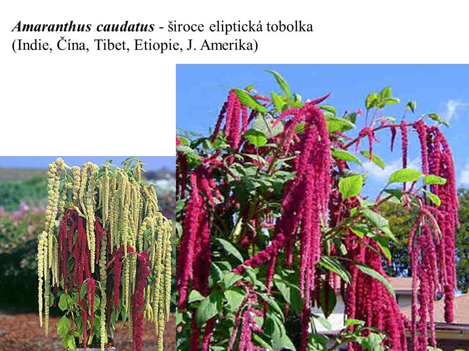 Amaranthus caudatus - široce eliptická tobolka (Indie, Čína, Tibet, Etiopie, J. Amerika)