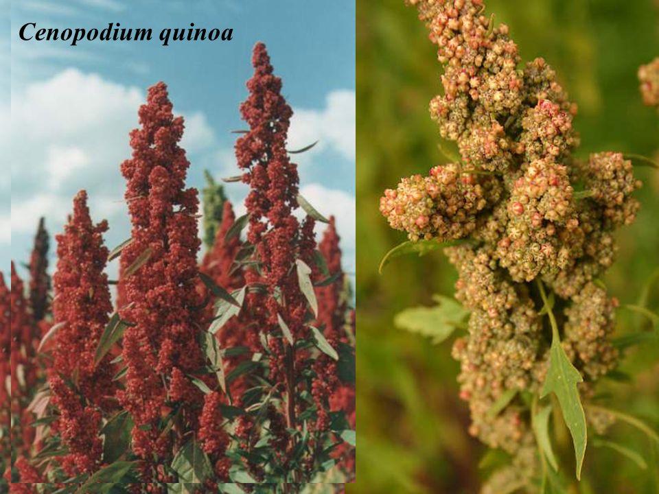 Cenopodium quinoa