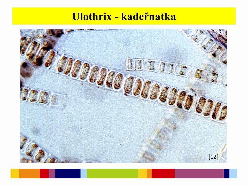 Ulothrix - kadeřnatka [1 ] [2 ] [4 ] [6 ] [12 ]