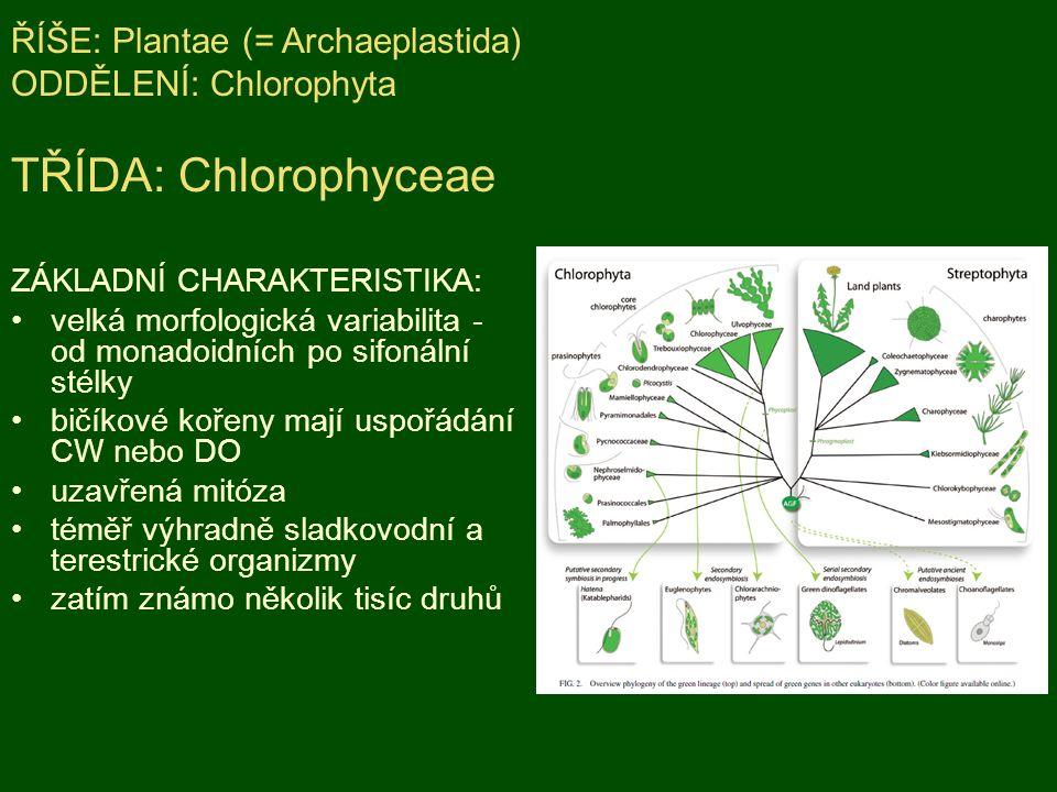 ZÁKLADNÍ CHARAKTERISTIKA: velká morfologická variabilita - od monadoidních po sifonální stélky bičíkové kořeny mají uspořádání CW nebo DO uzavřená mitóza téměř výhradně sladkovodní a terestrické organizmy zatím známo několik tisíc druhů ŘÍŠE: Plantae (= Archaeplastida) ODDĚLENÍ: Chlorophyta TŘÍDA: Chlorophyceae