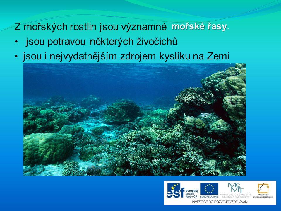 Z mořských rostlin jsou významné jsou potravou některých živočichů jsou i nejvydatnějším zdrojem kyslíku na Zemi mořské řasy mořské řasy.