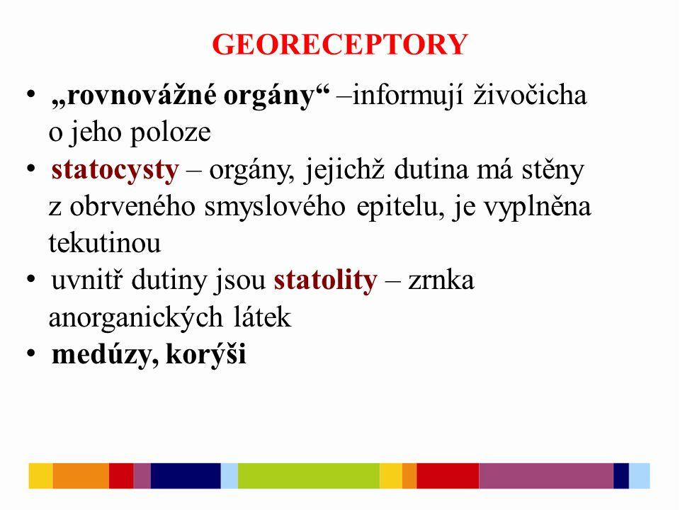 """GEORECEPTORY """"rovnovážné orgány"""" –informují živočicha o jeho poloze statocysty – orgány, jejichž dutina má stěny z obrveného smyslového epitelu, je vy"""
