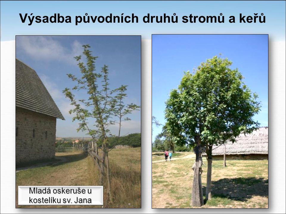 Výsadba původních druhů stromů a keřů Mladá oskeruše u kostelíku sv. Jana
