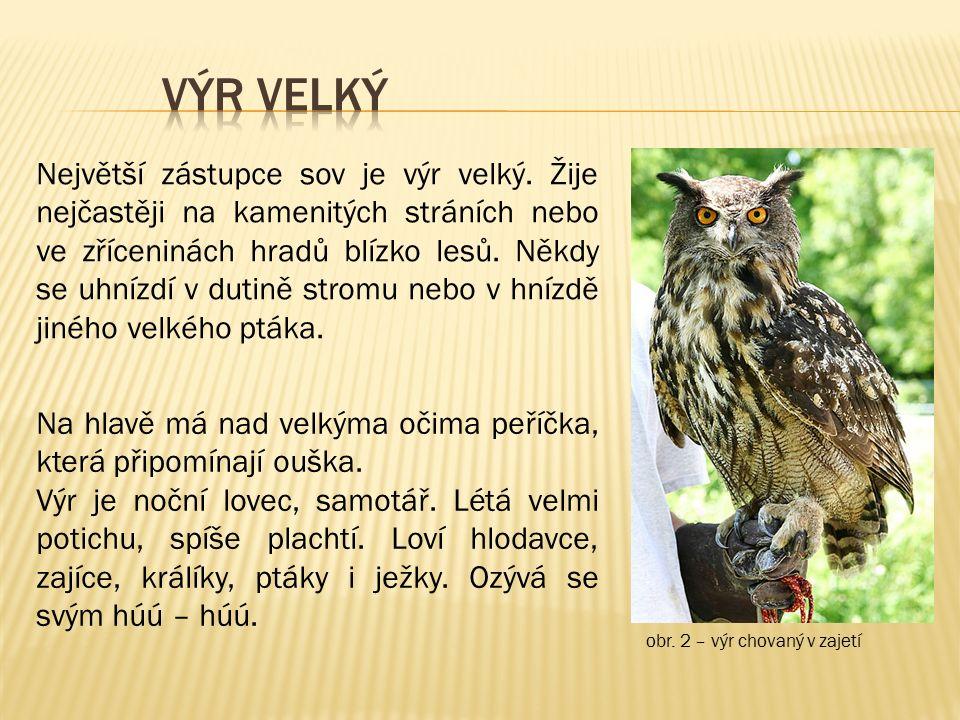 obr. 2 – výr chovaný v zajetí Největší zástupce sov je výr velký. Žije nejčastěji na kamenitých stráních nebo ve zříceninách hradů blízko lesů. Někdy