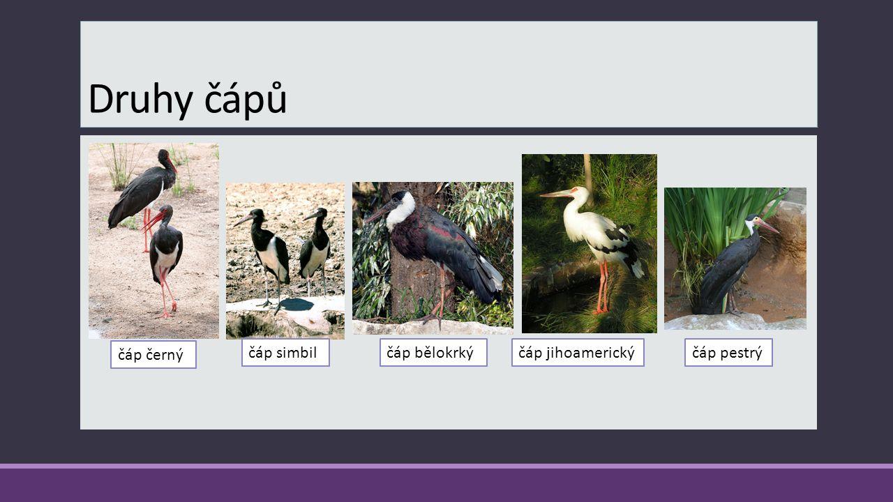 Ochrana  Čáp bílý je rozšířen po celé ČR.  Jedná se o zvlášť chráněný druh.  Výskyt, hnízdění je obzvláště sledováno ornitology.  Počet jedinců kl