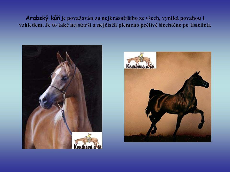 Arabský kůň je považován za nejkrásnějšího ze všech, vyniká povahou i vzhledem. Je to také nejstarší a nejčistší plemeno pečlivě šlechtěné po tisícile