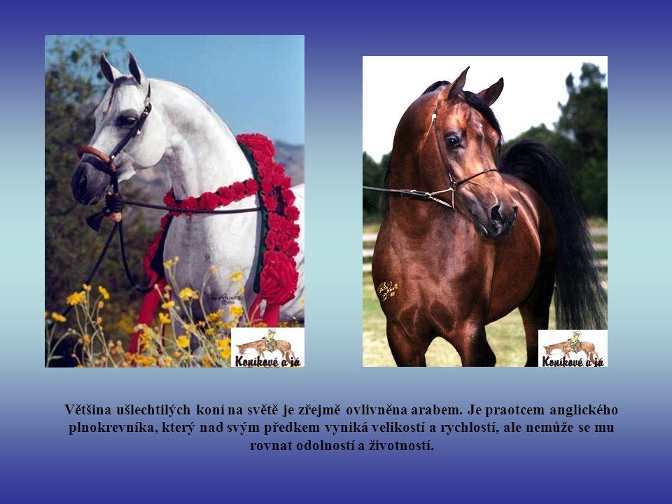 Většina ušlechtilých koní na světě je zřejmě ovlivněna arabem. Je praotcem anglického plnokrevníka, který nad svým předkem vyniká velikostí a rychlost