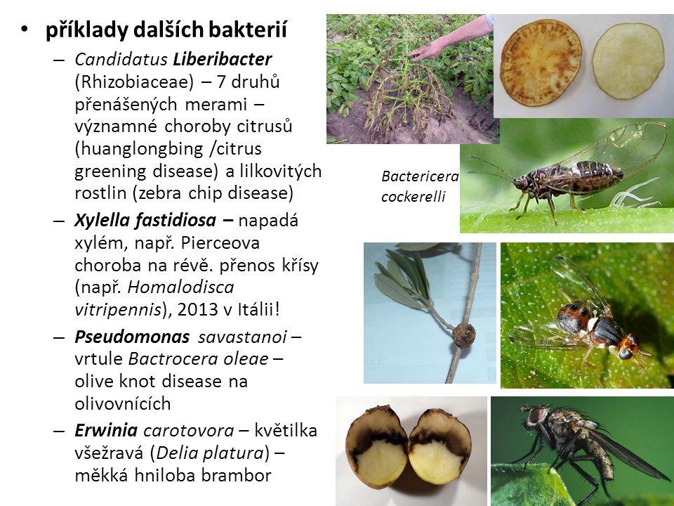 příklady dalších bakterií – Candidatus Liberibacter (Rhizobiaceae) – 7 druhů přenášených merami – významné choroby citrusů (huanglongbing /citrus greening disease) a lilkovitých rostlin (zebra chip disease) – Xylella fastidiosa – napadá xylém, např.