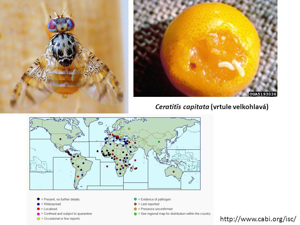 http://www.cabi.org/isc/ Ceratitïs capitata (vrtule velkohlavá)