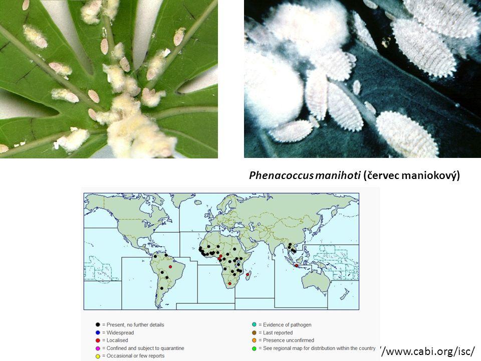 http://www.cabi.org/isc/ Phenacoccus manihoti (červec maniokový)