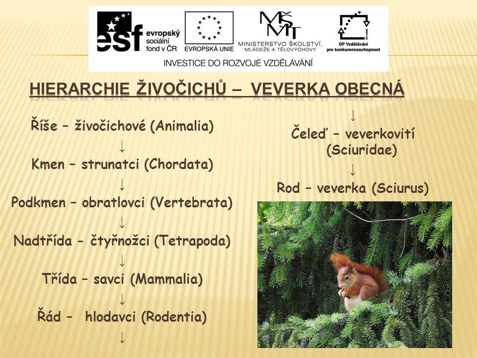 ↓ Čeleď – veverkovití (Sciuridae) ↓ Rod – veverka (Sciurus) Říše – živočichové (Animalia) ↓ Kmen – strunatci (Chordata) ↓ Podkmen – obratlovci (Vertebrata) ↓ Nadtřída - čtyřnožci (Tetrapoda) ↓ Třída – savci (Mammalia) ↓ Řád – hlodavci (Rodentia) ↓