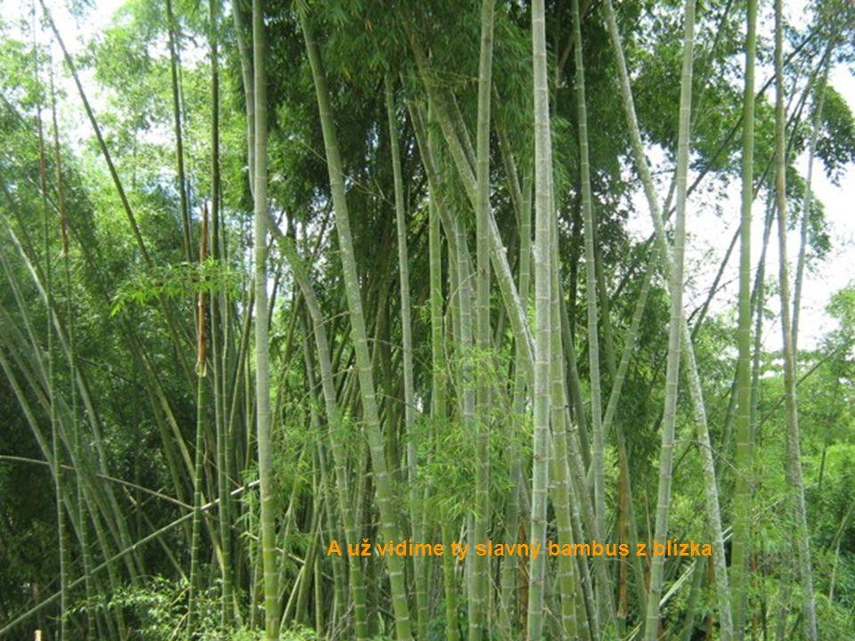 A už vidíme ty slavný bambus z blízka