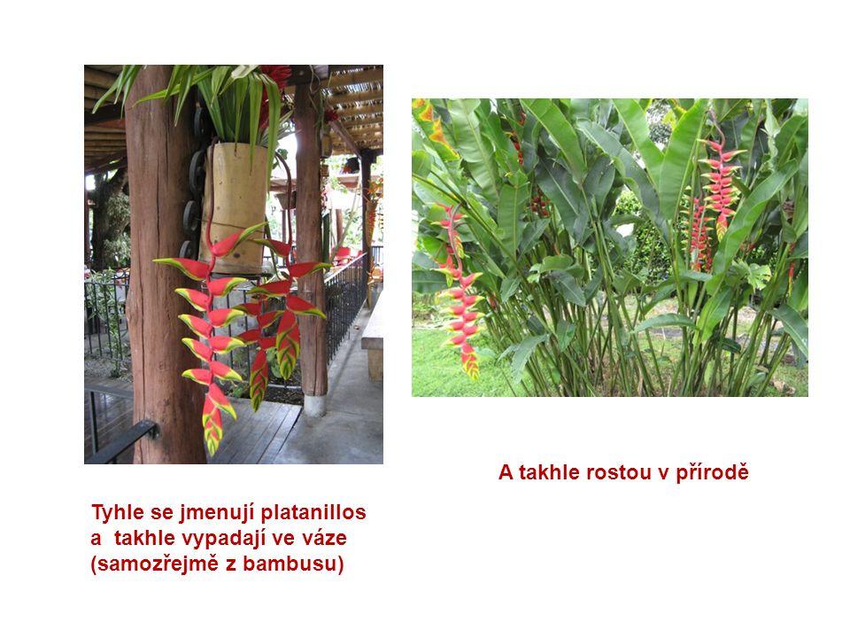 Tyhle se jmenují platanillos a takhle vypadají ve váze (samozřejmě z bambusu) A takhle rostou v přírodě