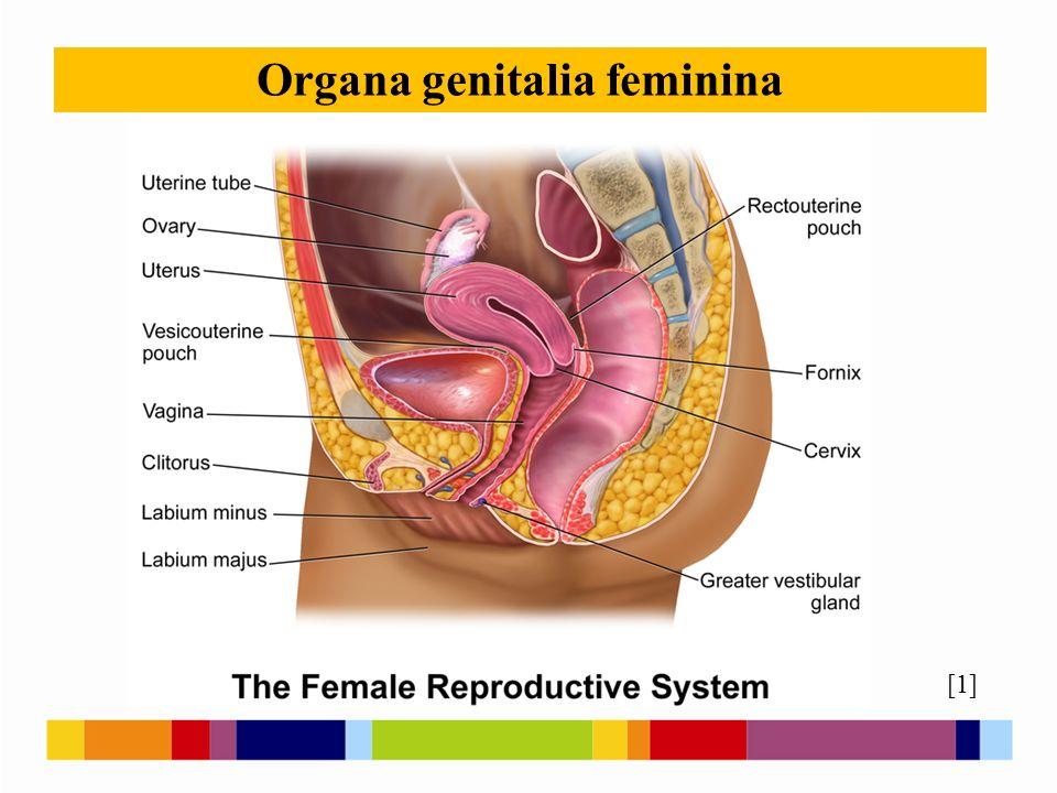Organa genitalia feminina [1]