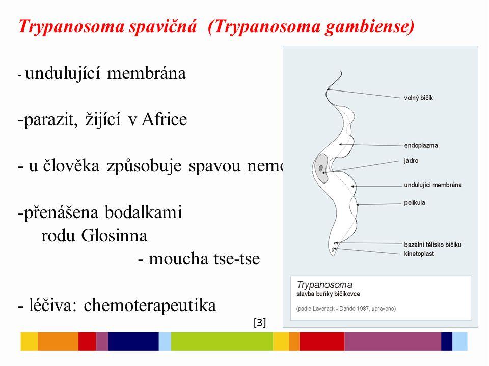Trypanosoma spavičná (Trypanosoma gambiense) - undulující membrána -parazit, žijící v Africe - u člověka způsobuje spavou nemoc -přenášena bodalkami r