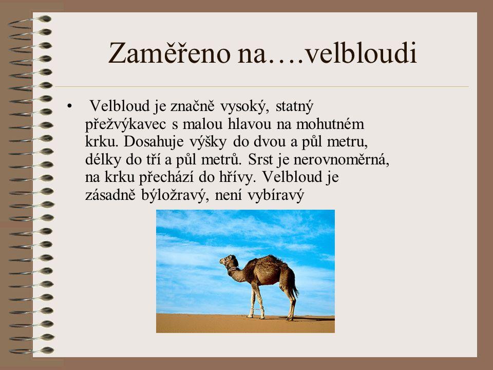 Zaměřeno na….velbloudi Velbloud je značně vysoký, statný přežvýkavec s malou hlavou na mohutném krku.