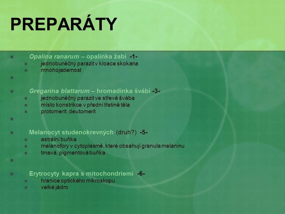 PREPARÁTY Opalina ranarum – opalinka žabí -1- jednobuněčný parazit v kloace skokana mnohojadernost Gregarina blattarum – hromadinka švábí -3- jednobun
