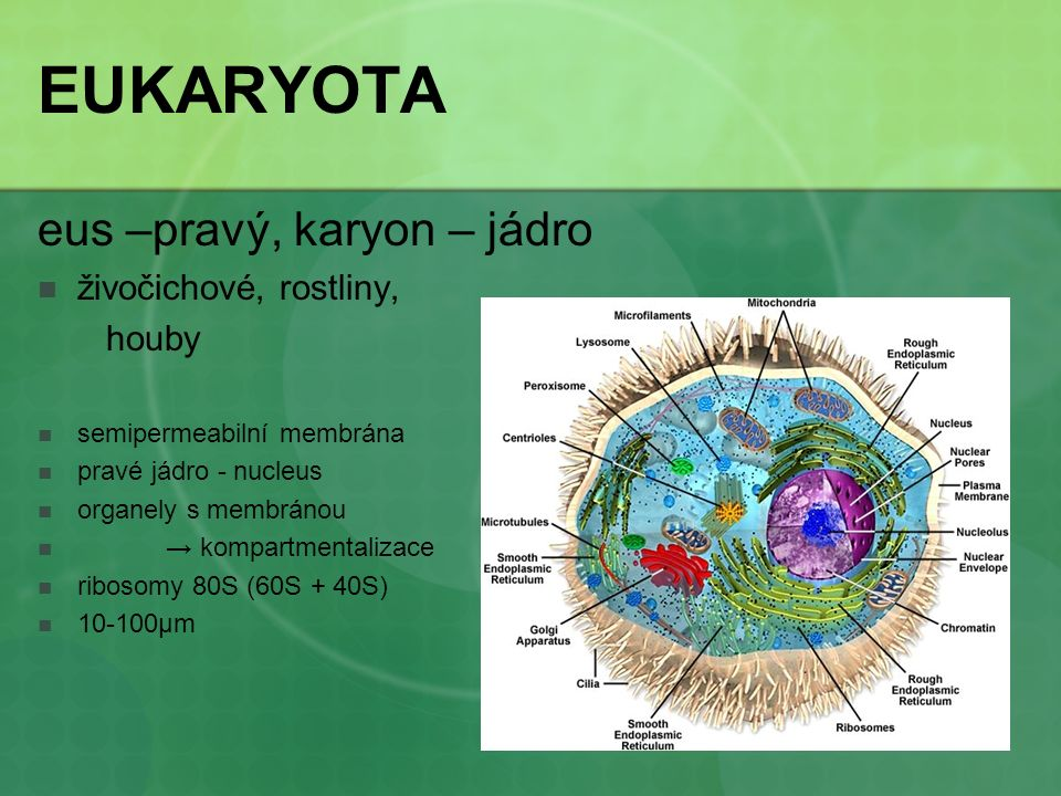 EUKARYOTA eus –pravý, karyon – jádro živočichové, rostliny, houby semipermeabilní membrána pravé jádro - nucleus organely s membránou → kompartmentali