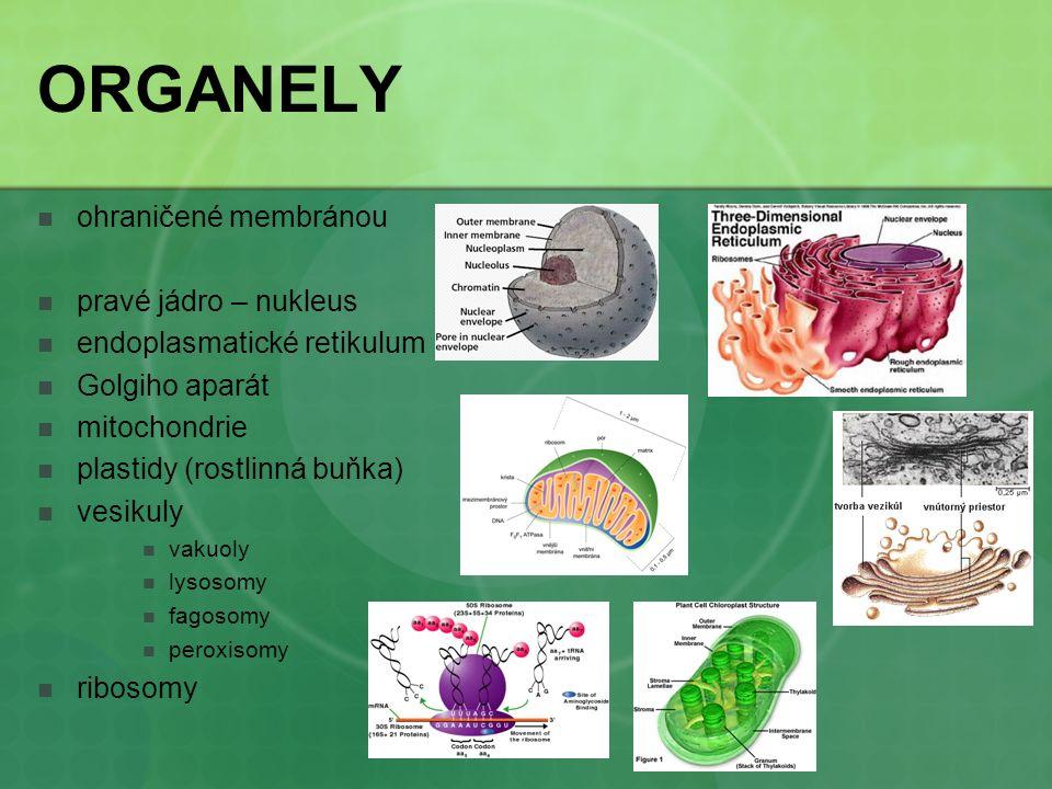 ORGANELY ohraničené membránou pravé jádro – nukleus endoplasmatické retikulum Golgiho aparát mitochondrie plastidy (rostlinná buňka) vesikuly vakuoly