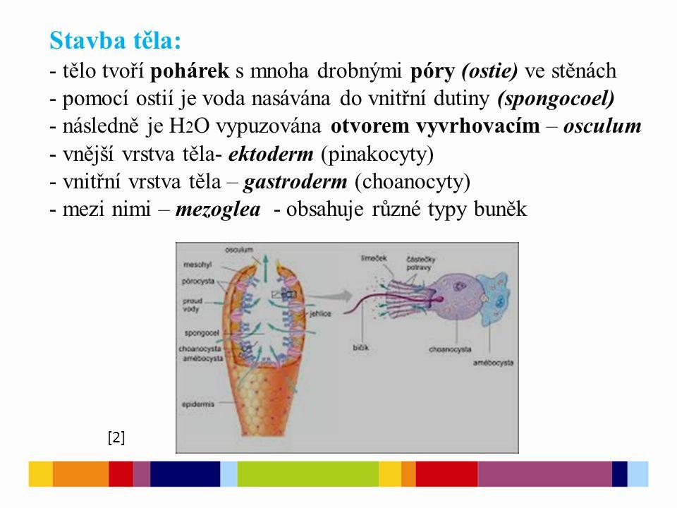 Stavba těla: - tělo tvoří pohárek s mnoha drobnými póry (ostie) ve stěnách - pomocí ostií je voda nasávána do vnitřní dutiny (spongocoel) - následně j