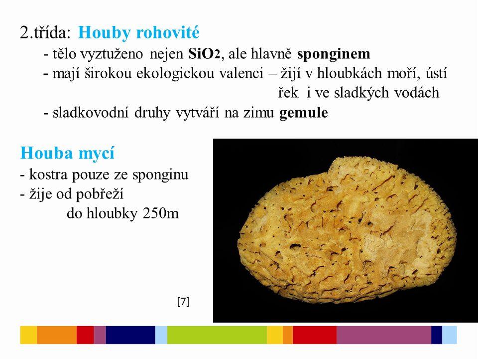 2.třída: Houby rohovité - tělo vyztuženo nejen SiO 2, ale hlavně sponginem - mají širokou ekologickou valenci – žijí v hloubkách moří, ústí řek i ve s