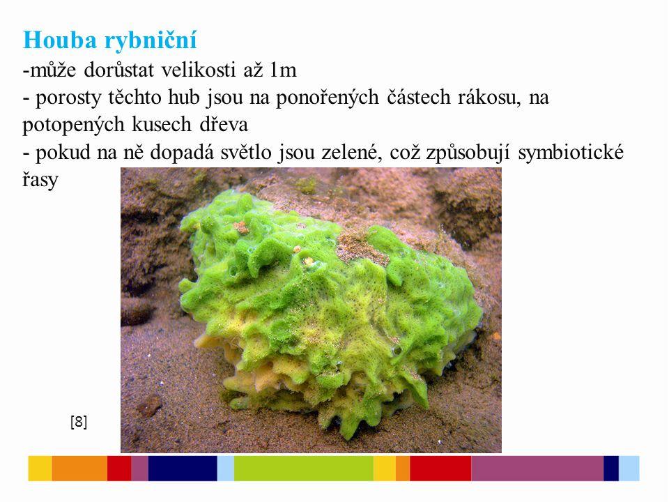 Houba říční - pomalu tekoucí vody, řeky, zasahuje i do Baltského moře - na předmětech ponořených do moře - zbarvení dle intenzity světla Houba pohárová - největší, 150 cm, Tichý oceán [9]