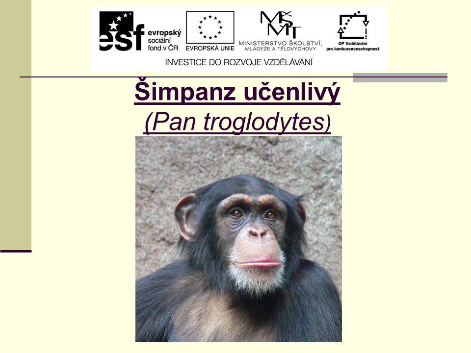 Šimpanz učenlivý (Pan troglodytes )