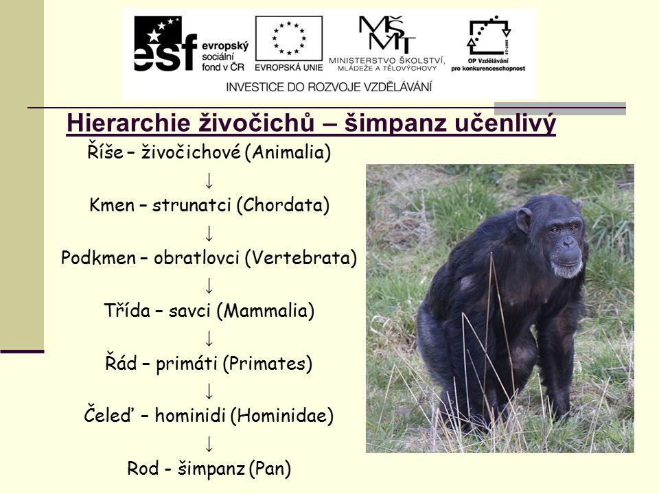 Hierarchie živočichů – šimpanz učenlivý Říše – živočichové (Animalia) ↓ Kmen – strunatci (Chordata) ↓ Podkmen – obratlovci (Vertebrata) ↓ Třída – savc