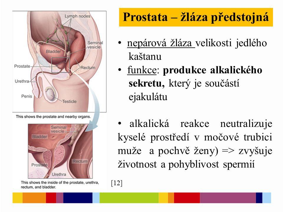 Prostata – žláza předstojná nepárová žláza velikosti jedlého kaštanu funkce: produkce alkalického sekretu, který je součástí ejakulátu alkalická reakc