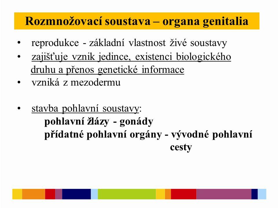 Rozmnožovací soustava – organa genitalia reprodukce - základní vlastnost živé soustavy zajišťuje vznik jedince, existenci biologického druhu a přenos