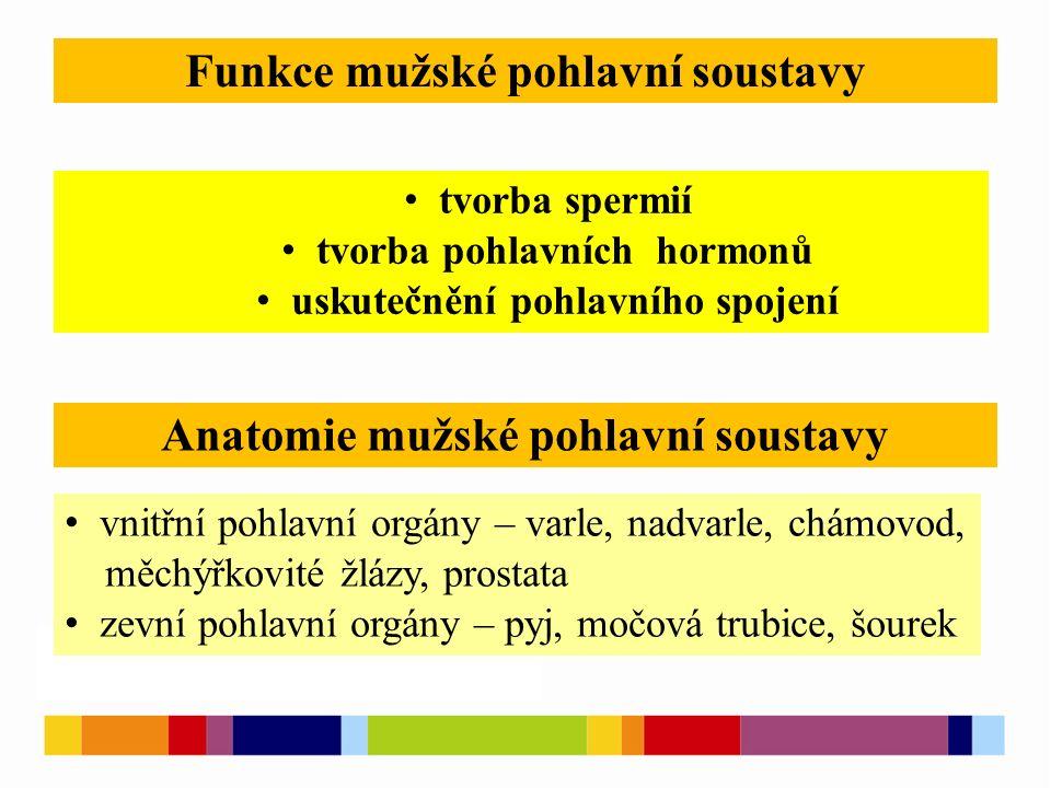 tvorba spermií tvorba pohlavních hormonů uskutečnění pohlavního spojení Funkce mužské pohlavní soustavy vnitřní pohlavní orgány – varle, nadvarle, chá