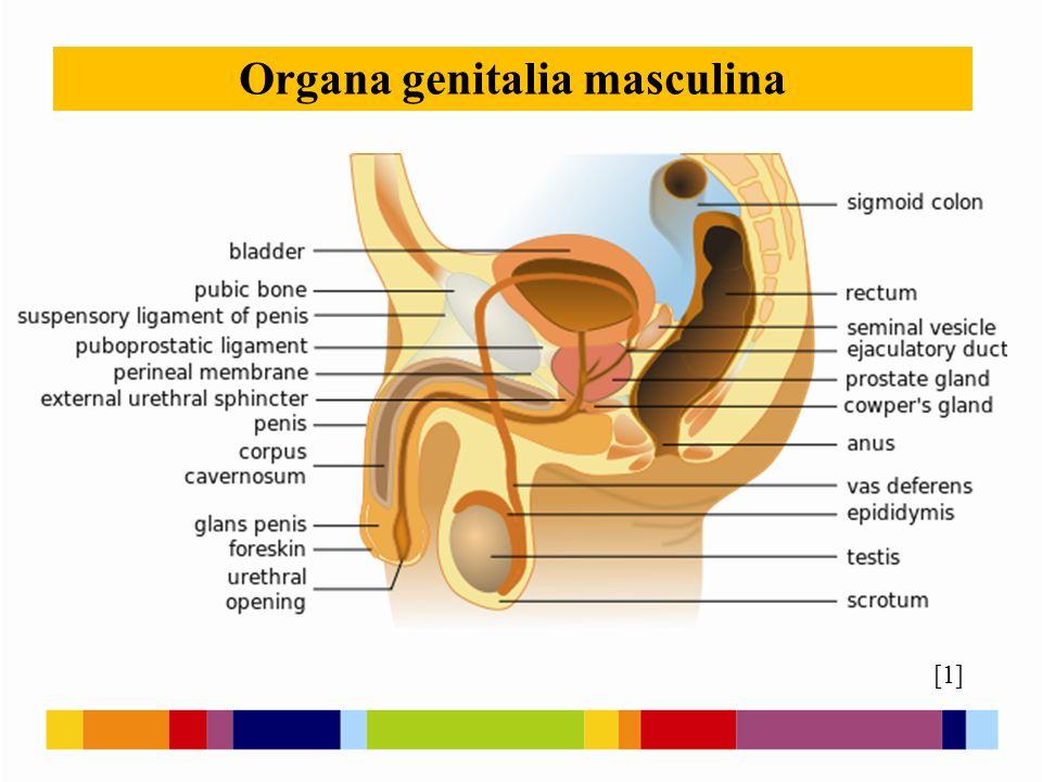 Varlata - testes párový orgán vejčitého tvaru s tuhým vazivovým obalem na povrchu jsou uložena v šourku (scrotum) – kožní vak hruškovitého tvaru semenotvorné kanálky - tvorba spermií v semenotvorných kanálcích jsou tzv.