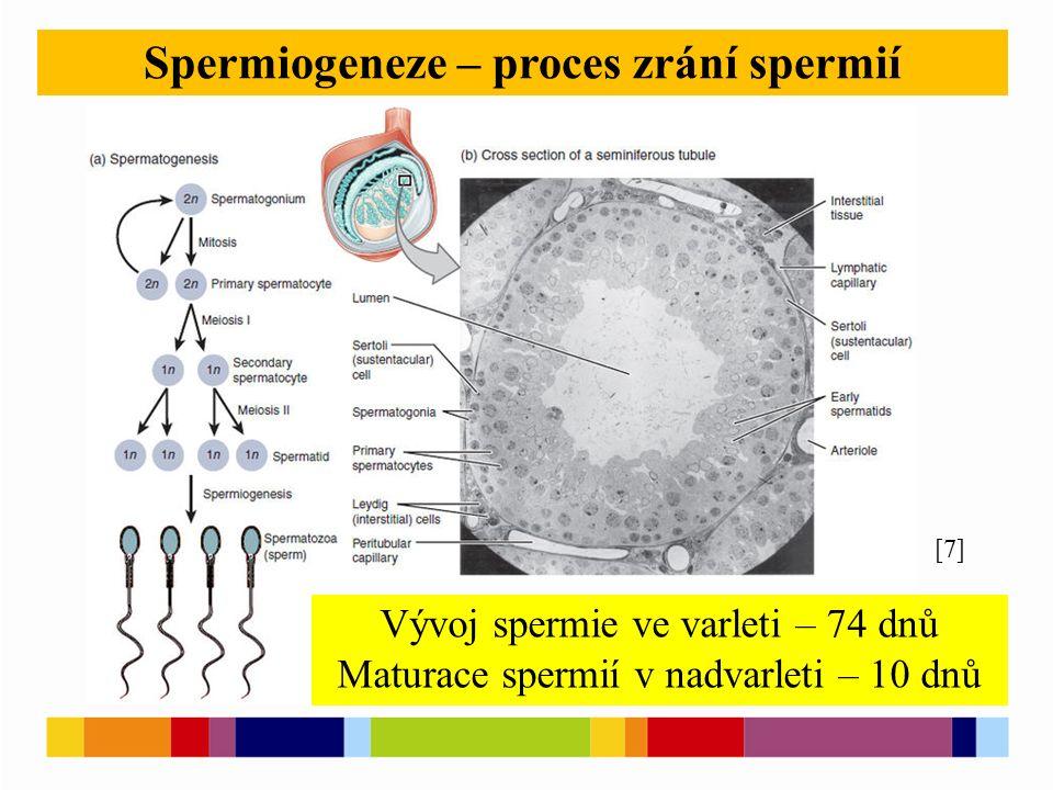 [4] Spermiogeneze – proces zrání spermií [7] Vývoj spermie ve varleti – 74 dnů Maturace spermií v nadvarleti – 10 dnů