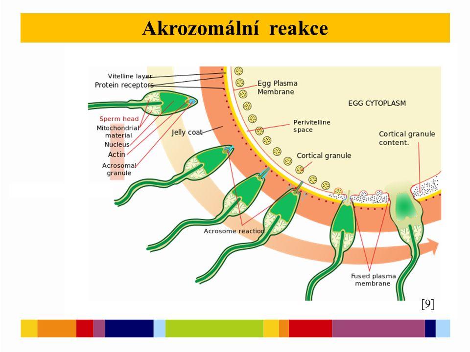 [11] [12] [13] [8] Testosteron Histological section through testicular parenchyma of a boar.