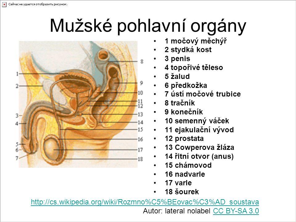 Mužské pohlavní orgány 1 močový měchýř 2 stydká kost 3 penis 4 topořivé těleso 5 žalud 6 předkožka 7 ústí močové trubice 8 tračník 9 konečník 10 semen