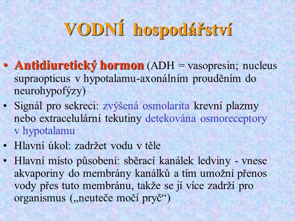 VODNÍ hospodářství Antidiuretický hormonAntidiuretický hormon (ADH = vasopresin; nucleus supraopticus v hypotalamu-axonálním prouděním do neurohypofýz