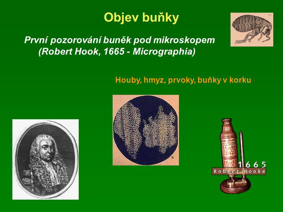 Objev buňky První pozorování buněk pod mikroskopem (Robert Hook, 1665 - Micrographia) Houby, hmyz, prvoky, buňky v korku