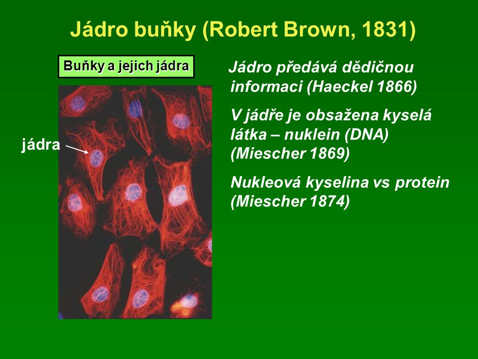 Jádro buňky (Robert Brown, 1831) Jádro předává dědičnou informaci (Haeckel 1866) V jádře je obsažena kyselá látka – nuklein (DNA) (Miescher 1869) Nukleová kyselina vs protein (Miescher 1874) Buňky a jejich jádra jádra