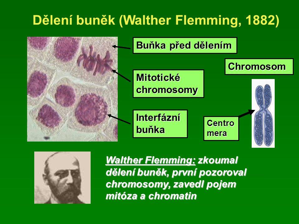 Dělení buněk (Walther Flemming, 1882) Buňka před dělením Walther Flemming: zkoumal dělení buněk, první pozoroval chromosomy, zavedl pojem mitóza a chromatin Mitotické chromosomy Chromosom Centro mera Interfázní buňka