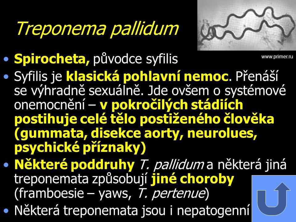Treponema pallidum Spirocheta, původce syfilis Syfilis je klasická pohlavní nemoc. Přenáší se výhradně sexuálně. Jde ovšem o systémové onemocnění – v