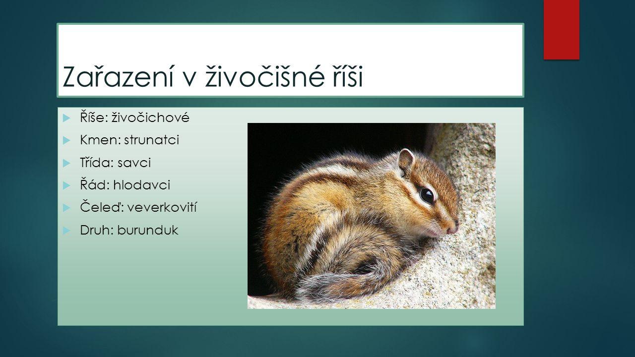 Život v přirozeném prostředí  Najdeme ho na severní polokouli – Finsko, Rusko, Mongolsko, Japonsko, Čína.