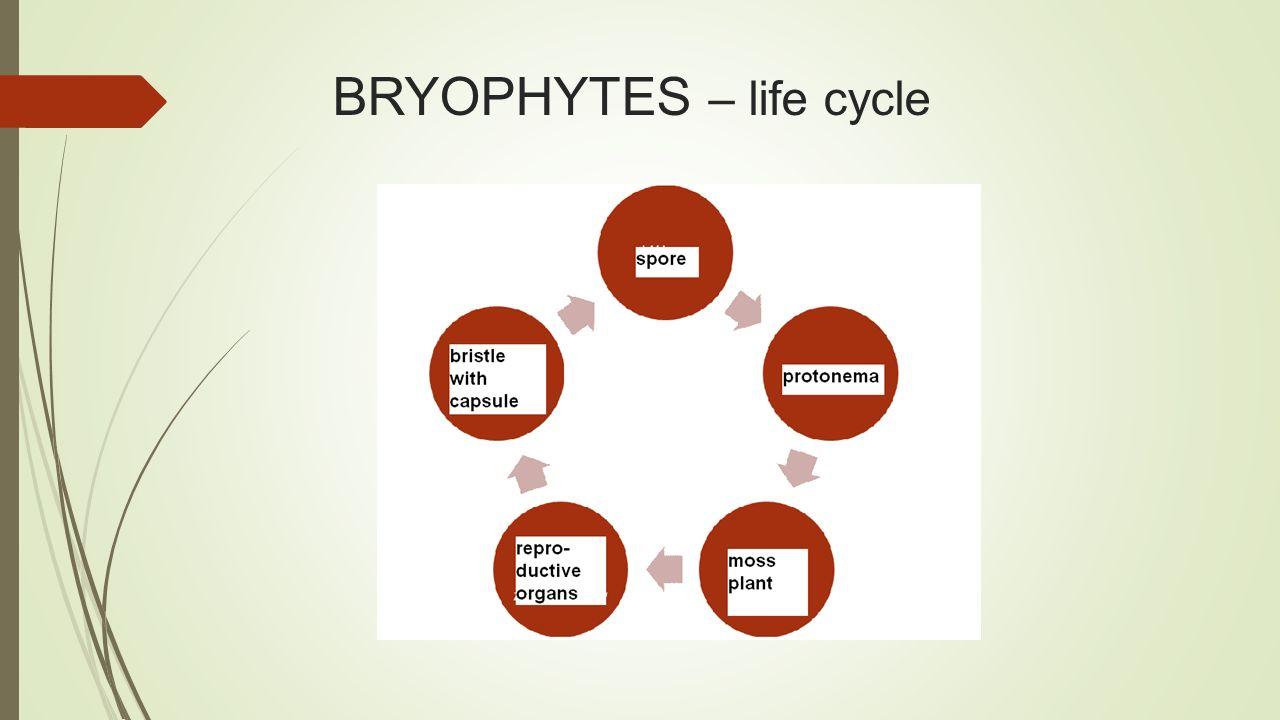 BRYOPHYTES – life cycle