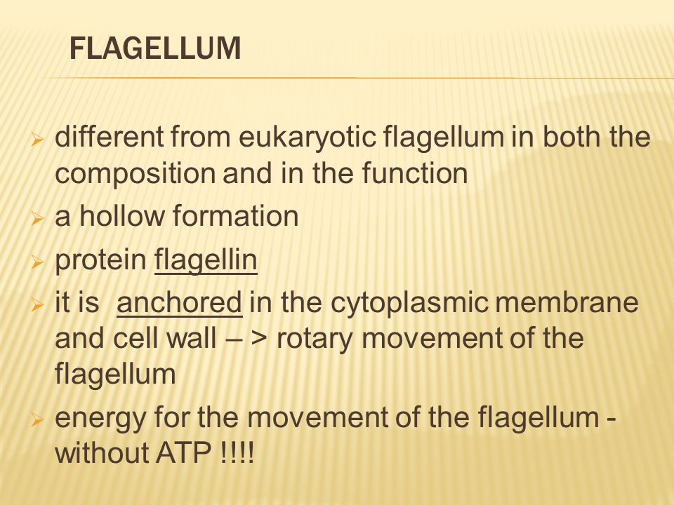  different from eukaryotic flagellum in both the composition and in the function  a hollow formation  protein flagellin  it is anchored in the cytoplasmic membrane and cell wall – > rotary movement of the flagellum  energy for the movement of the flagellum - without ATP !!!.