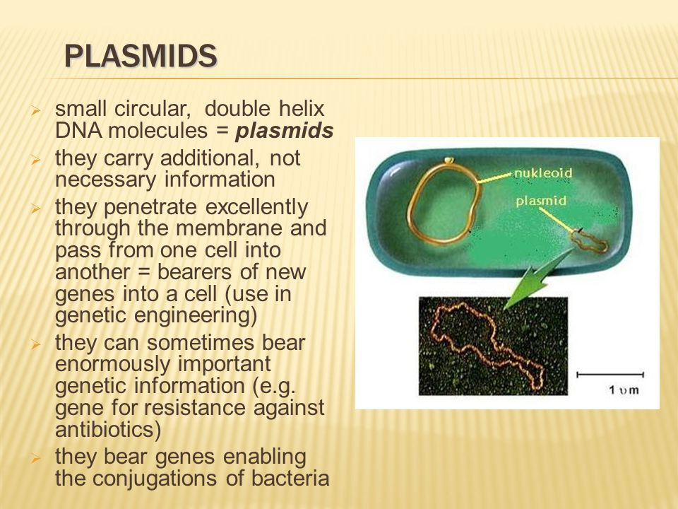 PLASMIDS  small circular, double helix DNA molecules = plasmids  they carry additional, not necessary information  they penetrate excellently through the membrane and pass from one cell into another = bearers of new genes into a cell (use in genetic engineering)  they can sometimes bear enormously important genetic information (e.g.