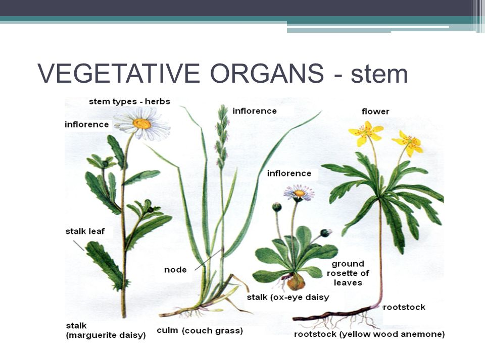 VEGETATIVE ORGANS - stem