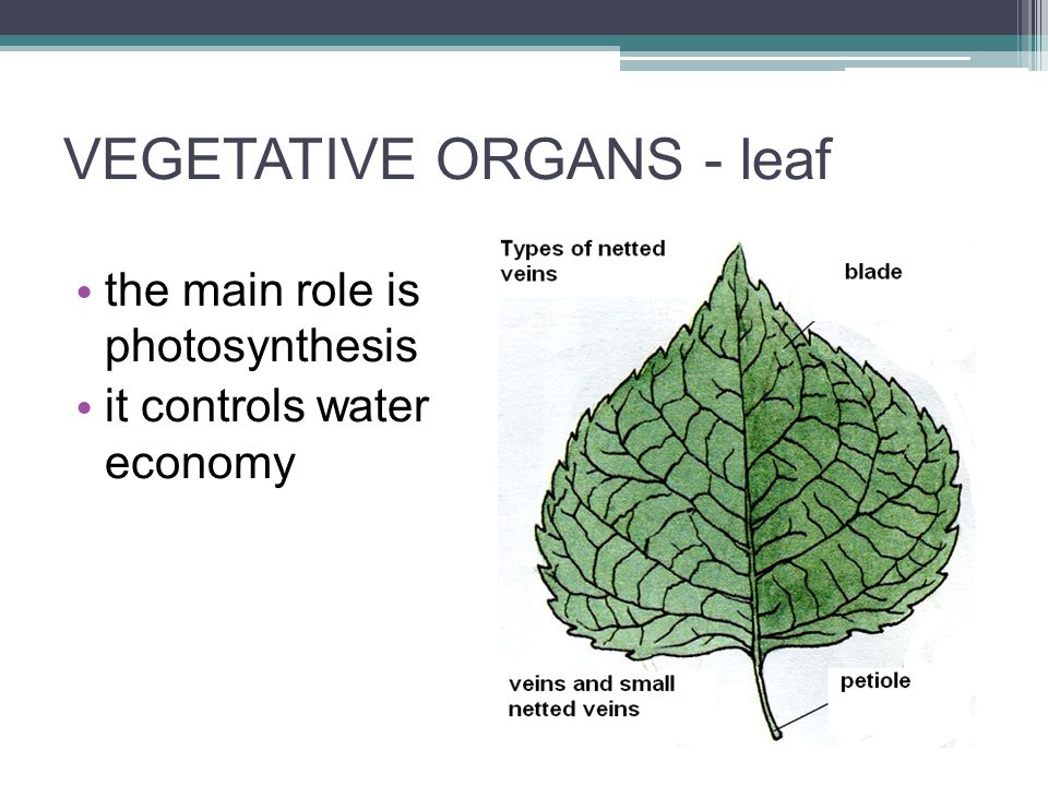 VEGETATIVE ORGANS - leaf the main role is photosynthesis it controls water economy