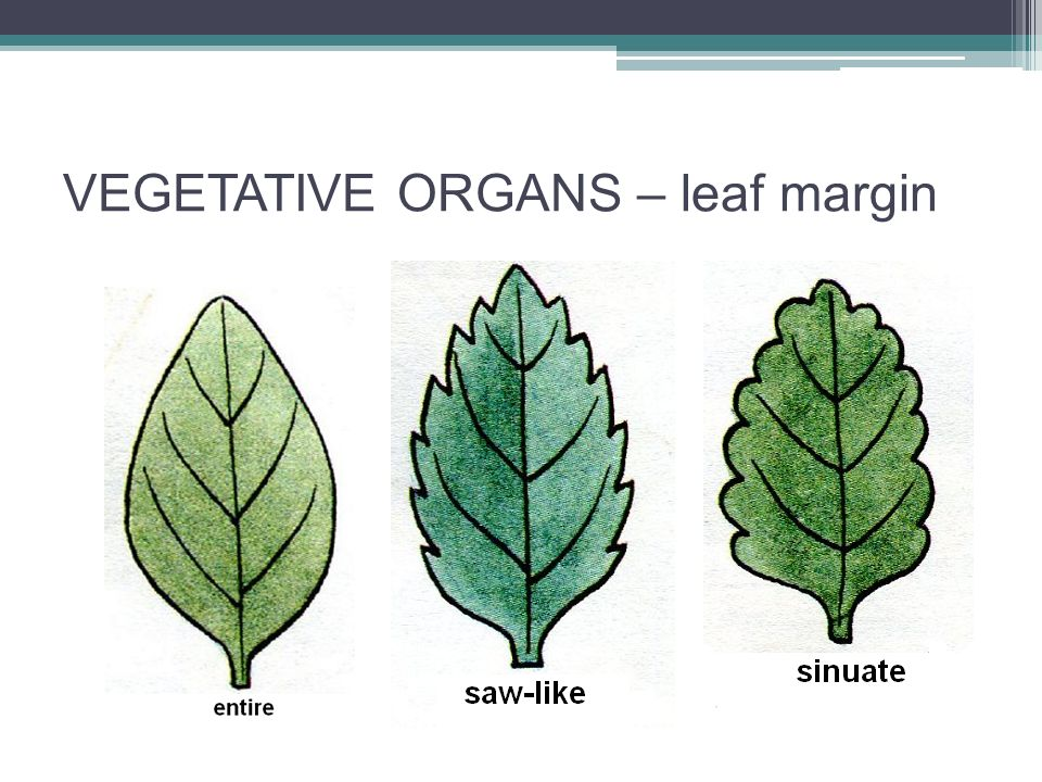 VEGETATIVE ORGANS – leaf margin