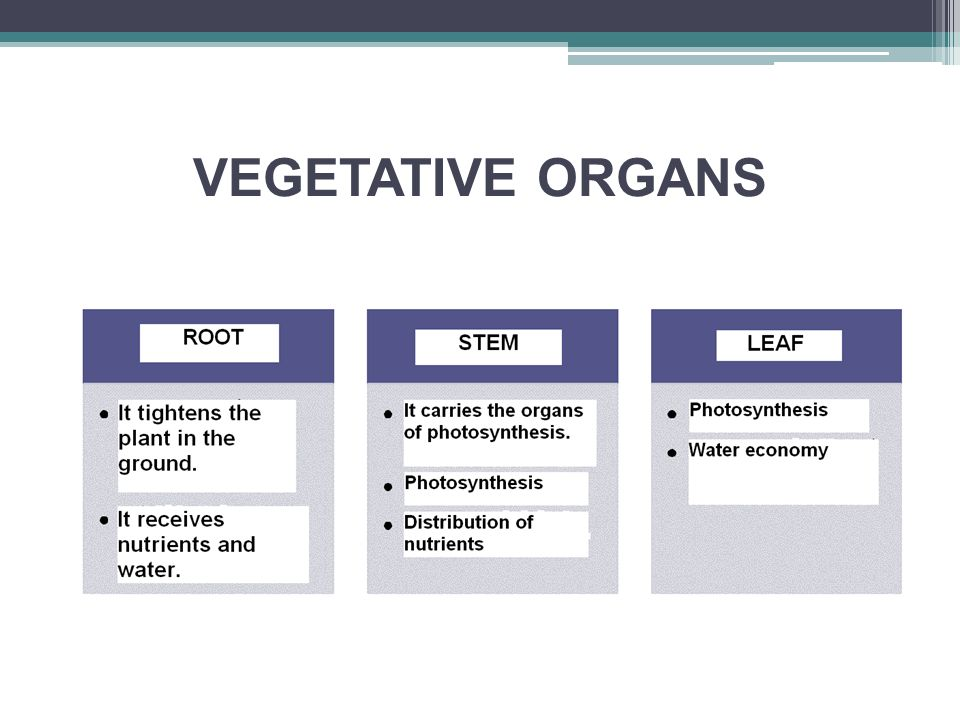 VEGETATIVE ORGANS - root it tightens the plant in the ground it receives water and nutrients storage function tack function aerial roots roots of parasitic plants (mistletoe)