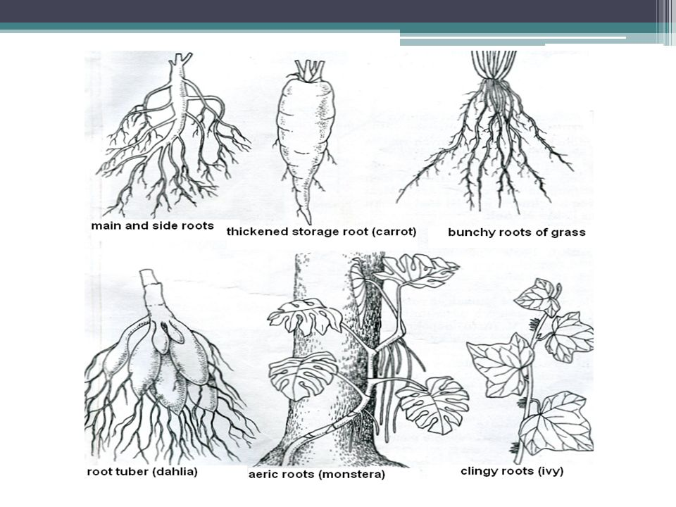 VEGETATIVE ORGANS - stem it carries the organs of photosynthesis - leaves it carries the organs of sexual reproduction – flowers it leads solutions of nutrients and storage substances it enables the growth storage function – tuber (kohlrabi)