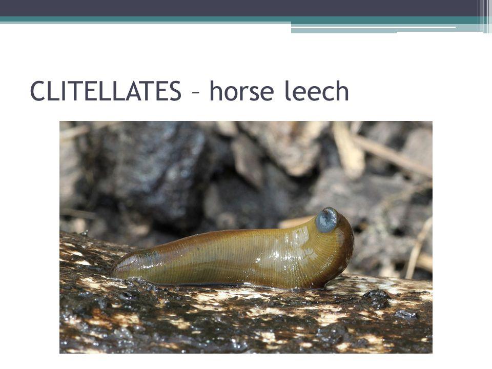 CLITELLATES – horse leech